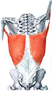Your lats are key in building every muscle in your upper body.